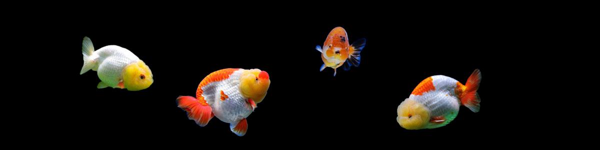 中国金鱼品种图解——兰寿