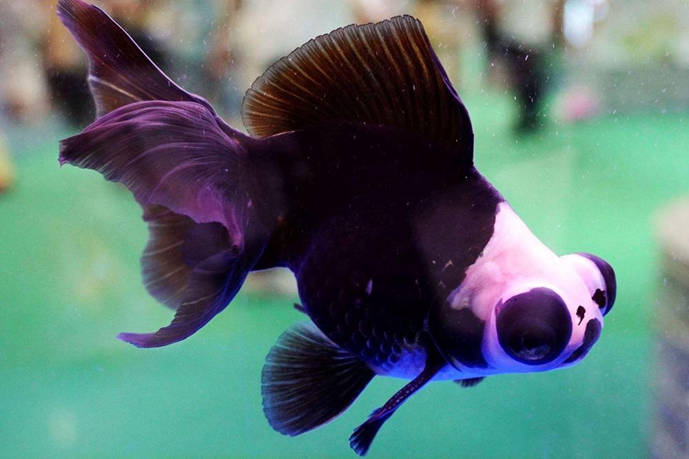 2017年福州金鱼博览会上的龙睛