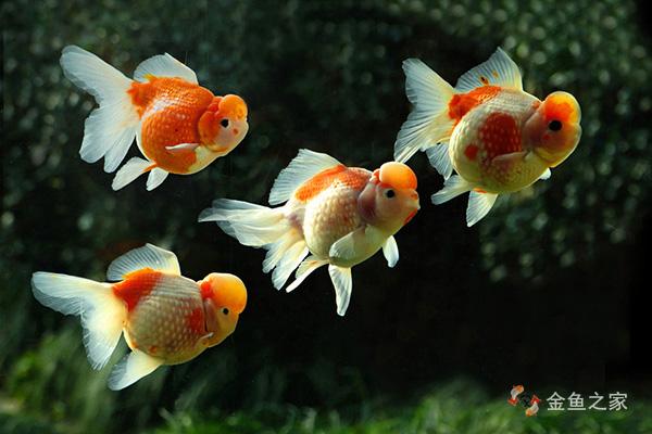 珍珠鳞金鱼属于文种金鱼