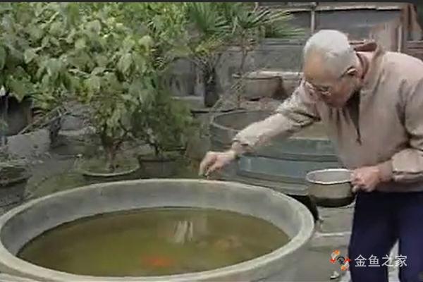 金鱼大师刘景春谈学养金鱼——金鱼的喂食