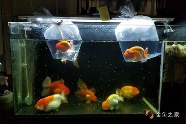 过温的目的是让金鱼适应水温