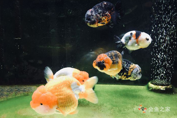 金鱼喂食要根据金鱼食欲适当增减