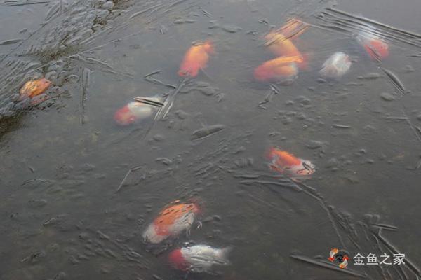 冬季金鱼进入冬眠后要停止喂食