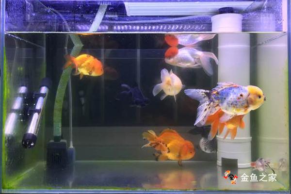 家庭饲养金鱼首选玻璃缸