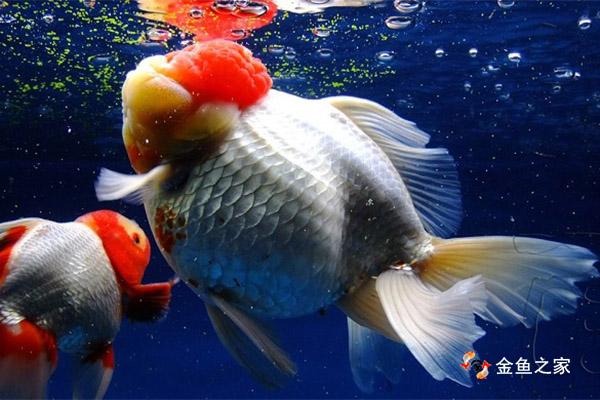 双氧水倒入鱼缸可以缓解金鱼因缺氧造成的浮头现象