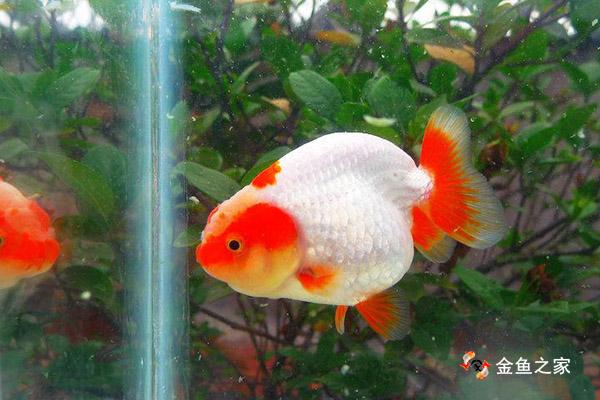 健康的金鱼体表光洁无任何外伤