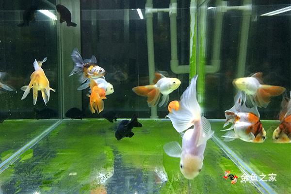 新买的金鱼在隔离暂养2周之后才能合缸