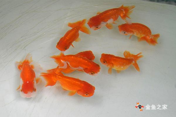 健康的金鱼游动有力不离群
