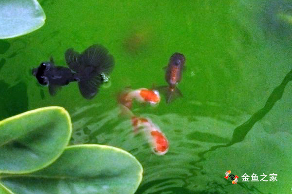 绿水可以增强金鱼免疫力,降低应激反应