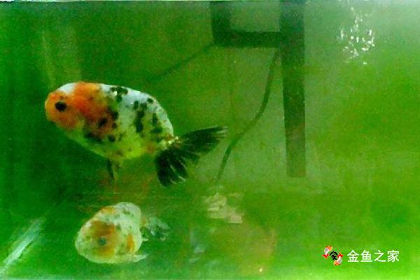 绿水可以促进金鱼发色、起头,疗养鱼病