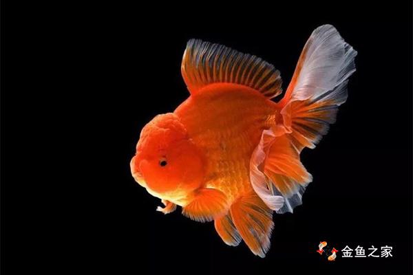 购买挑选到健康无残疾的金鱼其实并不难