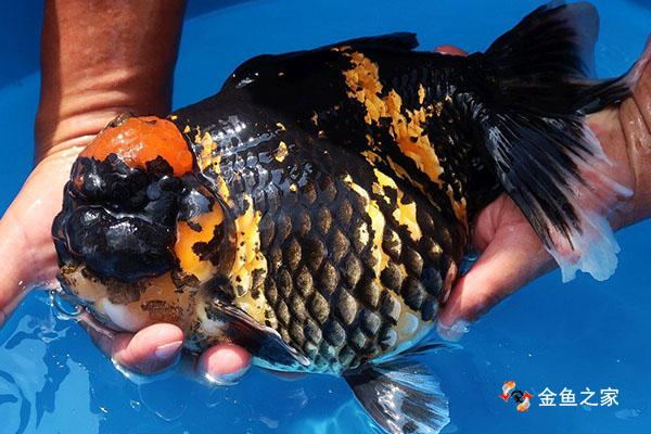 把金鱼养大养肥是每个鱼友的追求