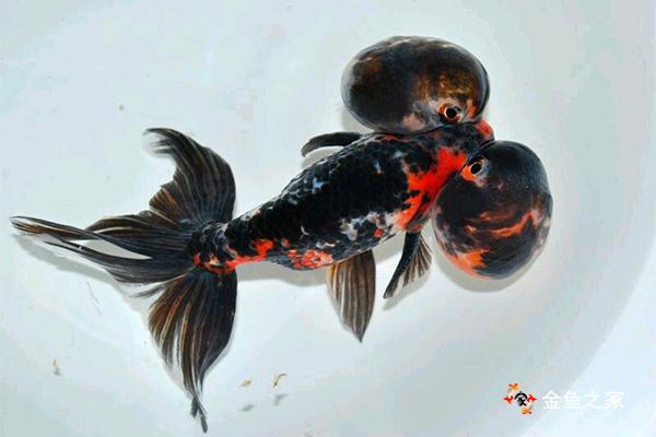 像古人一样古法饲养金鱼是很多鱼友的梦想