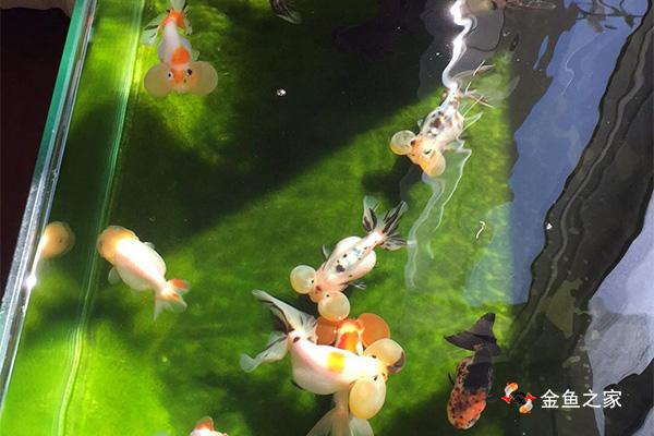 要想养好金鱼首先得学会养水