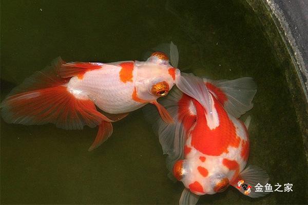 古法饲养金鱼中有很多经验值得我们借鉴