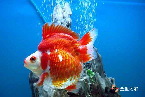 高溶氧可以提高金鱼的食欲