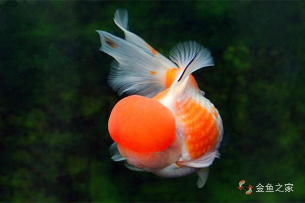 皇冠珍珠金鱼