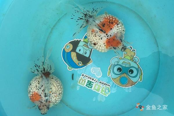 五花皮球珍珠金鱼
