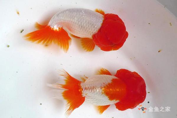 虎头金鱼是蛋种金鱼的代表品种