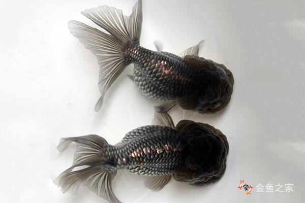 虎头金鱼出现于清朝末期