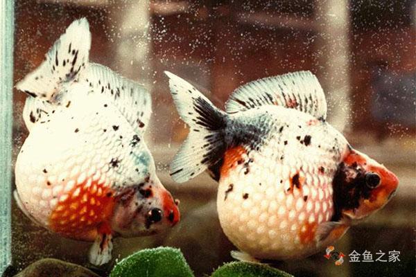 珍珠鳞传说是中国金鱼在印度发生了变异