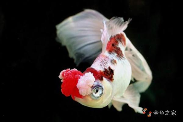 绒球金鱼以文种绒球相对较常见