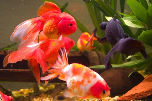 金鱼水霉病重在预防