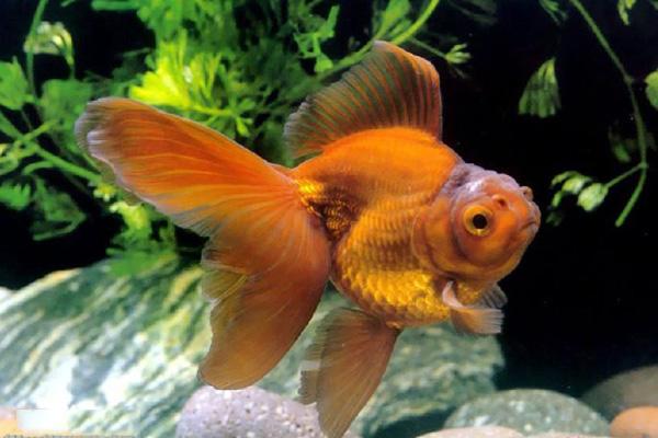 水霉病是金鱼的常见病
