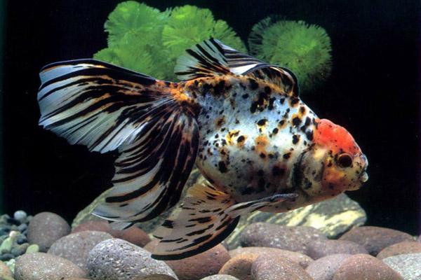 体表有伤口的金鱼容易感染水霉病