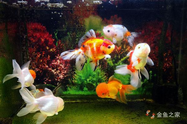 挑选、饲养金鱼需做好日常观察
