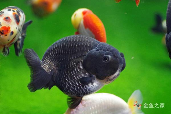 健康金鱼色彩鲜艳、各鳍舒展