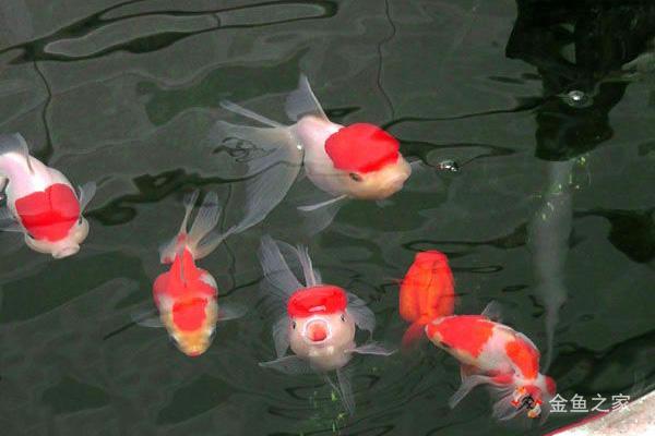 阴雨天金鱼容易缺氧而浮头