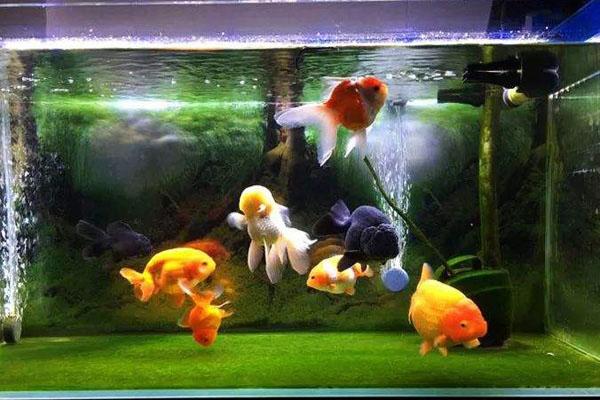 小缸饲养金鱼密度要稀一点