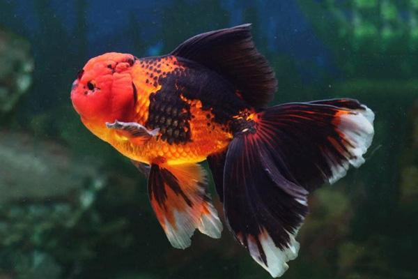 小缸也能把金鱼养活养好