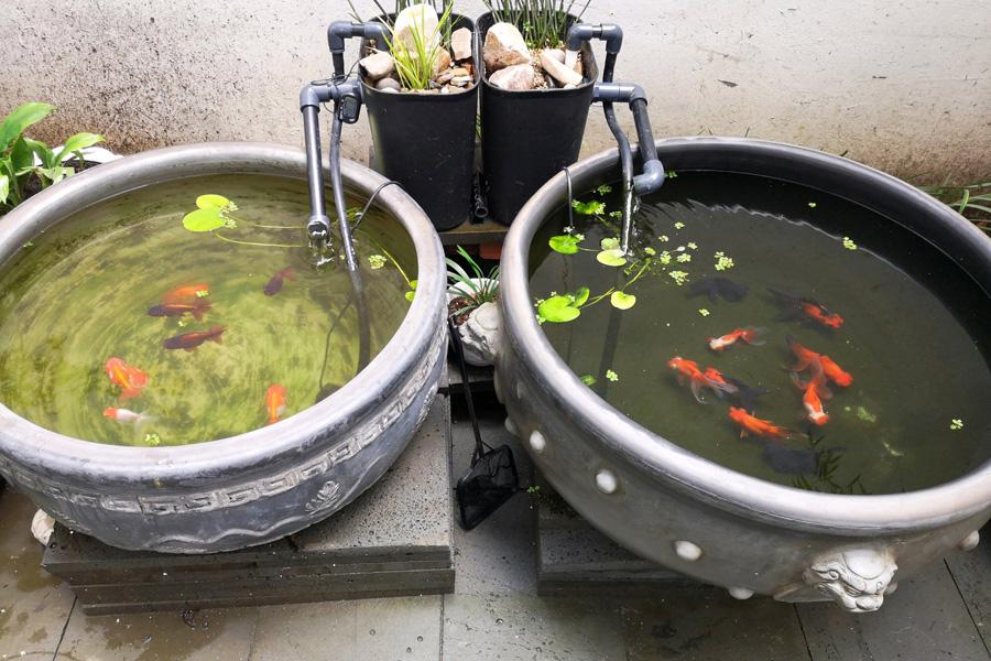 瓦盆古法养鱼