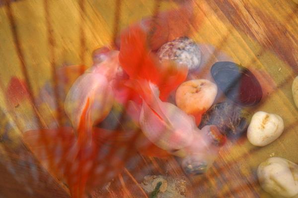 十二红龙睛蝶尾