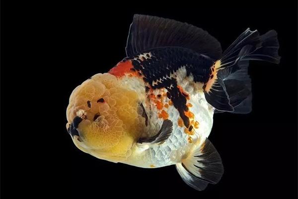 金鱼的黑色极难保持,容易褪色