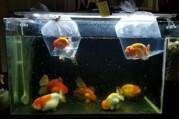 浮袋法过水注意不要把袋中水倒入鱼缸
