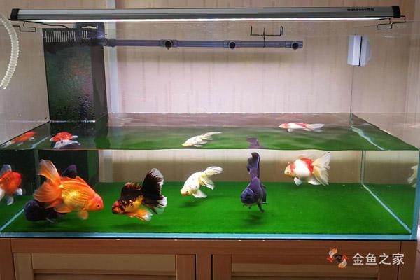 饲养金鱼再强大的过滤也代替不了换水