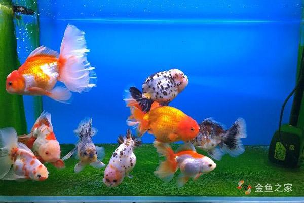 高密度饲养金鱼比稀养更有视觉冲击力