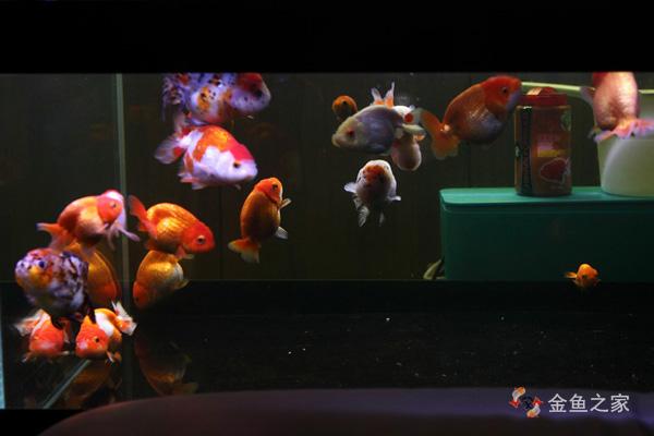 金鱼饲养密度的增大不可避免