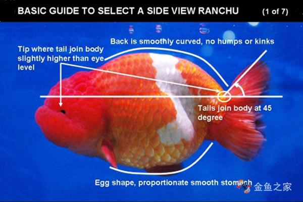 圆滑平顺的背部曲线是兰寿最重要的鉴赏标准