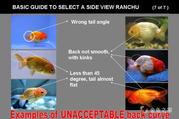 背部凹凸不平尾鳍角度太平都须淘汰