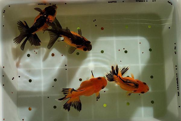 春季饲养金鱼应选择胚芽饲料
