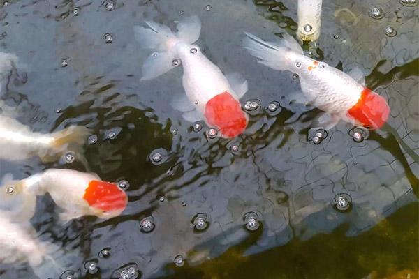 春季饲养金鱼须慢慢增多喂食