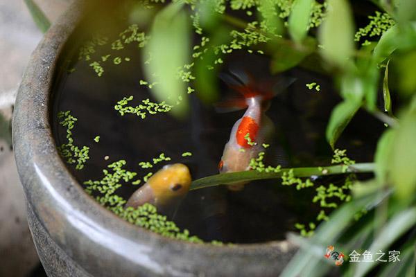 无根浮萍等青饲料有助于金鱼的消化和吸收